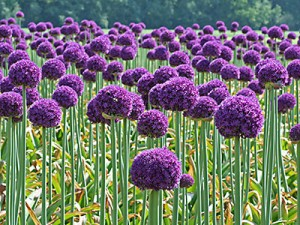 Allium-flower-300x225