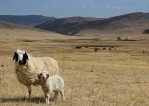 IMG_1142-2-mongolian-sheep-Stuart-Edwards